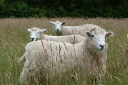 Romney - Different Breeds of Sheep - TheSheepSite