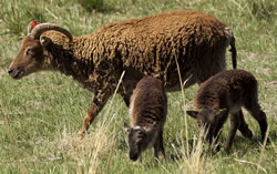 Soay - Different Breeds of Sheep - TheSheepSite