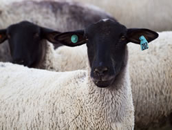 Suffolk - Different Breeds of Sheep - TheSheepSite