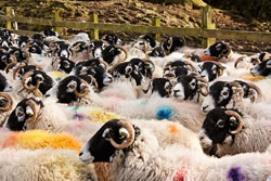Swaledale - Different Breeds of Sheep - TheSheepSite