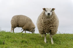 Texel - Different Breeds of Sheep - TheSheepSite